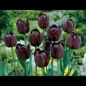 Tulip - Single Late - Queen of the Night